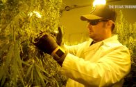 Texas-medical-cannabis-cultivator-and-dispensary-has-first-harvest